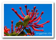 notro / Chilean firetree (Embothrium coccineum)