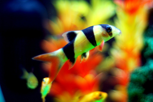 The gallery for tropical freshwater aquarium fish from for Freshwater clown fish