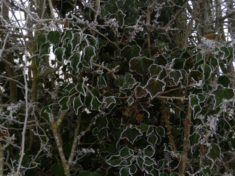 Frosty ivy Wanborough to Godalming