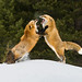 Red Foxes Scrapping