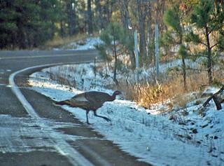 Wild turkey crossing, near Alpine, Arizona, 1990