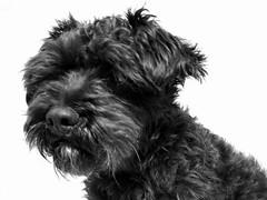 dog breed, animal, dog, schnoodle, tibetan terrier, glen of imaal terrier, bolonka, vulnerable native breeds, poodle crossbreed, havanese, schnauzer, monochrome photography, morkie, dandie dinmont terrier, cairn terrier, affenpinscher, carnivoran, black-and-white, terrier,
