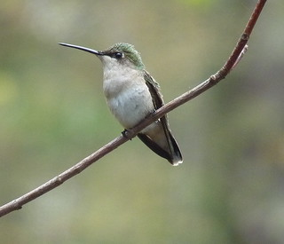 Female Ruby Throat