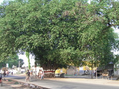 Modern History, Huge, Majestic Tree (Ficus arnottiana), sacrificed for road.