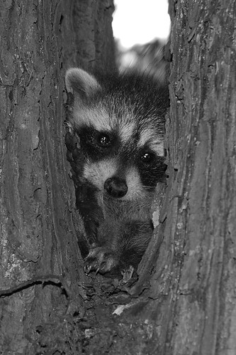 BABY RACOON 6-13 08