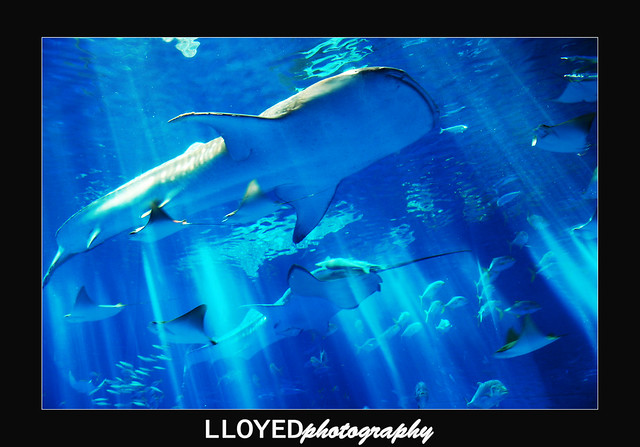 Giant Whale Shark http://www.flickr.com/photos/lloyedvalenzuela/2627291223/