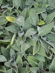 flower(0.0), produce(0.0), bay laurel(0.0), evergreen(1.0), shrub(1.0), leaf(1.0), plant(1.0), common sage(1.0),