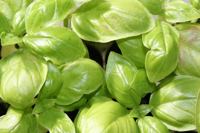 Container herbs: Basil