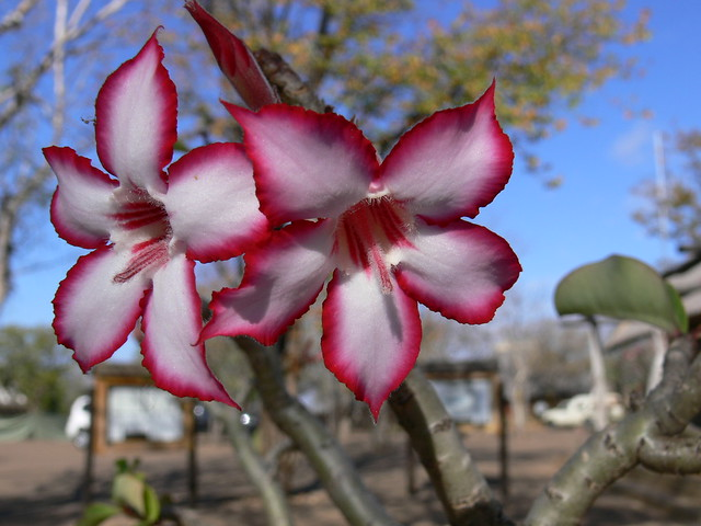 My Impala Lily Photo
