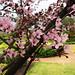 Small photo of PRUNUS cerasifera 'Nigra' (Cherry Plum Myrobalan)