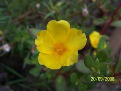 shrub(0.0), large-flowered evening primrose (0.0), hypericum(0.0), annual plant(1.0), flower(1.0), yellow(1.0), plant(1.0), wildflower(1.0), flora(1.0), common tormentil(1.0),