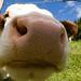 Nosy cow by jrej www.gregoirec.com