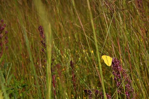 fauna butterfly flora sulphur easternnorthcarolina undisclosedlocation pinesavanna