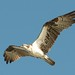 Osprey over Pine Island Sound