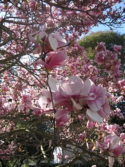blossom, flower, magnolia, plant, lilac, spring, pink, petal,