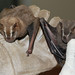 Great Fruit-eating Bat - Photo (c) Arthur Tahara, some rights reserved (CC BY-NC-ND)
