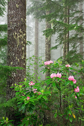 Mt. Walker Rhodies