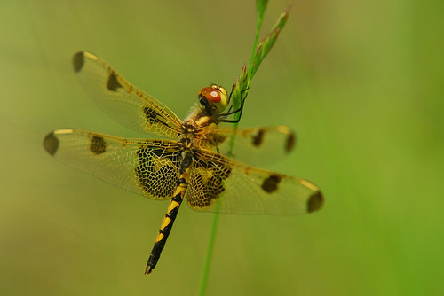 Dragonfly - yellow one...