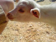 nose, animal, mammal, goats, domestic goat, fauna, close-up,
