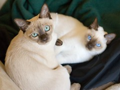 nose, animal, siamese, small to medium-sized cats, pet, thai, tonkinese, cat, burmese, carnivoran, whiskers, balinese,