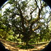 a mais velha grande mangueira do jardim