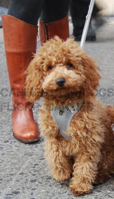 Goldendoodle Puppies Goldendoodle Dog Breeders.html ...