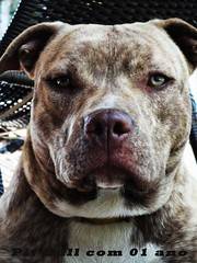 dog breed, animal, pit bull, dog, old english bulldog, pet, olde english bulldogge, american pit bull terrier, australian bulldog, toy bulldog, american bulldog, carnivoran, bulldog,