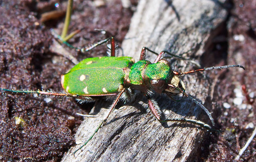 Gnasher, Green Tiger Beetle, Cicindela campestris