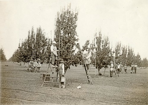 Woman picking in Comice orchard, 1918