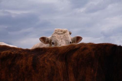 Shy Bull Hiding Behind His Brindle Cow