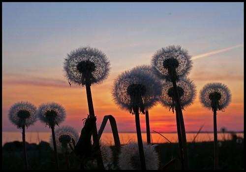 sunset sky sun colors clouds sunrise denmark soleil bravo couleurs ciel faves nuages 35 danemark taraxacum officinale wonderworld worldbest groovygang aplusphoto favemegroup4 ysplix platinumheartaward favemoifrance chwille photoartbloggroup