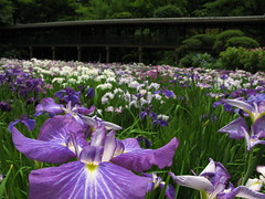 Iris ensata var. ensata / 花菖蒲(ハナショウブ)