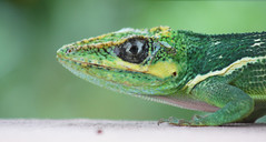 african chameleon(0.0), animal(1.0), green lizard(1.0), reptile(1.0), lizard(1.0), macro photography(1.0), green(1.0), fauna(1.0), close-up(1.0), lacerta(1.0), lacertidae(1.0), dactyloidae(1.0), scaled reptile(1.0), wildlife(1.0),