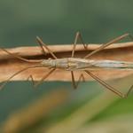 karcsú botpoloska - Chorosoma schillingii