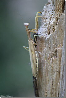 California Mantid - Stagmomantis californica