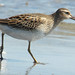 Pectoral Sandpiper - Photo (c) Jason Weckstein, some rights reserved (CC BY-NC-SA)
