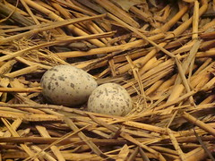 nest, straw, grass, wood, bird nest, food, egg, close-up,