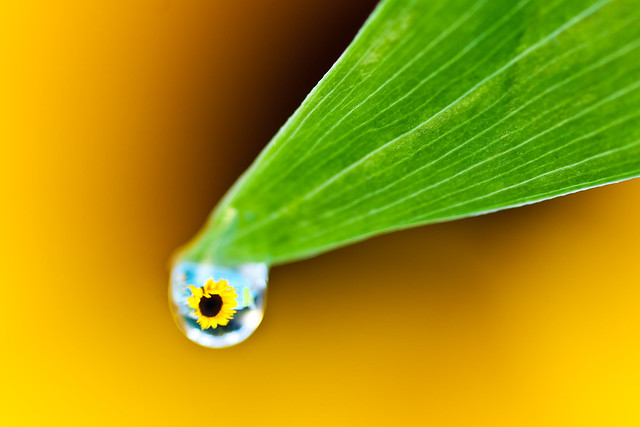 A Drop of Sunshine (Explored #466)