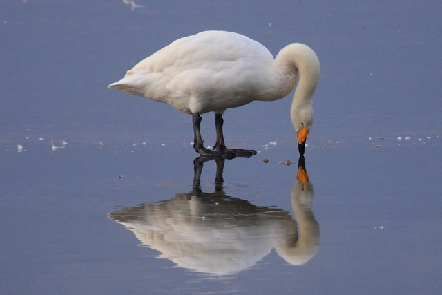 Whooper swan reflection at Welney