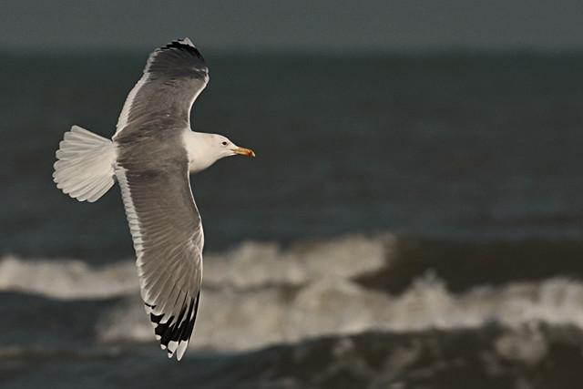 Caspian Gull (Larus cachinnans) Gabbiano pontico - Steppenmöwe