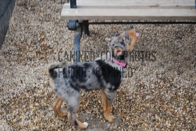 old puppy australian shepherd + australian blue heeler cattle dog mix