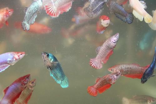 Alpha betta betta the subtle beauty of the female betta fish for Girl betta fish