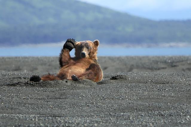 Alaskan Coastal Brown bear.....2
