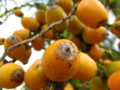 fruit tree, eriobotrya, flora, fruit, loquat,