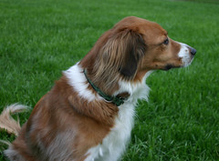 harrier(0.0), king charles spaniel(0.0), brittany(0.0), phalã¨ne(0.0), cavalier king charles spaniel(0.0), dog breed(1.0), animal(1.0), kooikerhondje(1.0), dog(1.0), welsh springer spaniel(1.0), pet(1.0), drentse patrijshond(1.0), spaniel(1.0), french spaniel(1.0), carnivoran(1.0),