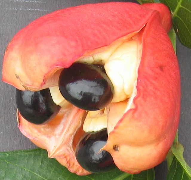 close up view of ripe, open ackee pod | Bright red pod of ...