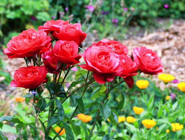 Coral color roses flickr photo sharing - Rosas color coral ...