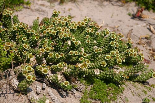 Euphorbia caput-medusae (EUPHORBIACEAE) by Hosoken