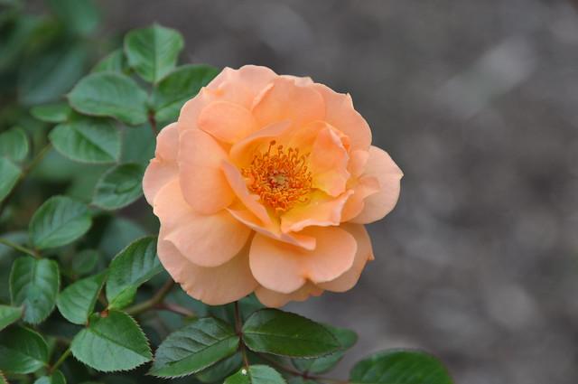What a Peach Shrub 007 | Flickr - Photo Sharing!