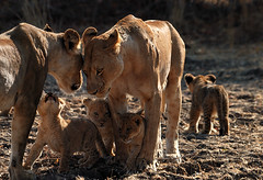 Lion Pride, South Luangwa National Park, Zambia